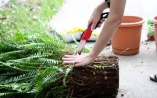 Как пересадить папоротник — какая земля и горшок нужны