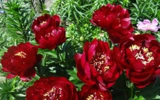 Пион Бакай Белл (Paeonia Buckeye Belle) — особенности выращивания