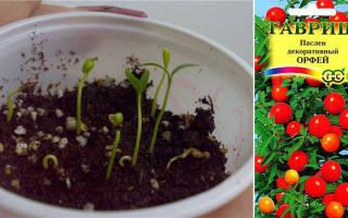 Паслен комнатный: примеры по уходу и основные сорта растения