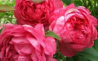 Роза Бенджамин Бриттен — описание английского сорта