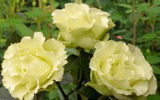 Роза Лимбо (Limbo) — характеристики сортового растения