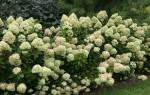 Гортензия Литл Лайм – описание и выращивания сорта