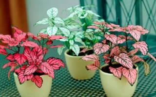 Цветок Гипоэстес — уход в домашних условиях