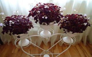 Кислица комнатная — как выращивать дома