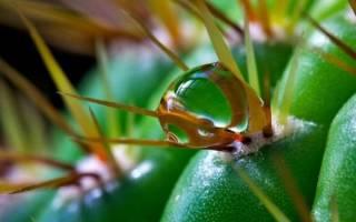 Как часто поливать кактус: количество и варианты в домашних условиях