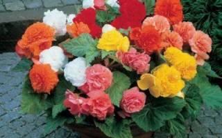 Цветок бегония махровая в домашних условиях