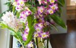Орхидея дендробиум — уход в домашних условиях