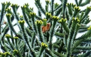 Араукария комнатная — посадка и уход дома