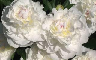 Белые пионы — описание и характеристики лучших сортов с цветной серединкой