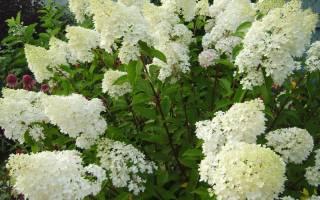 Гортензия Тардива (Tardiva) — описание сорта
