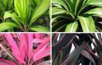 Кордилина цветок — виды, сорта, как ухаживать
