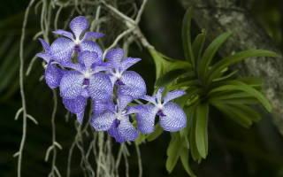 Орхидея Ванда — уход в домашних условиях