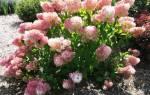 Гортензия Мэджикал Свит Саммер (Hydrangea Paniculata Magical Sweet Summer)