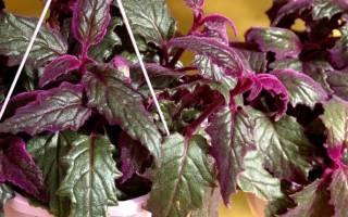Цветок гинура — уход в домашних условиях