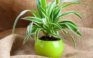 Цветок хлорофитум — уход в домашних условиях