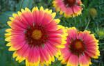 Гайлардия многолетняя: посадка и уход за цветком