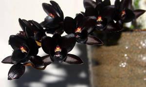 Черная орхидея фаленопсис — описание и виды