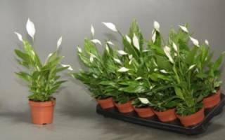 Спатифиллум Шопен — описание цветка
