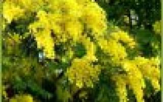 Мимоза — что это за цветок, как выглядит