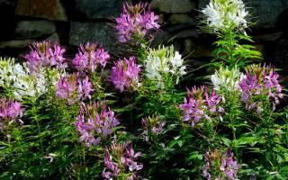 Клеома цветок — описание многолетних видов колючая и Хесслера
