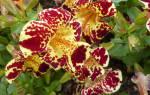 Цветок мимулюс (губастик) — особенности гибридного (тигрового) вида