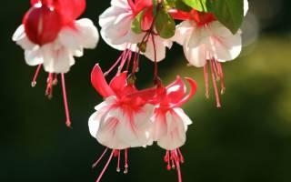 Фуксия — выращивание и уход в домашних условиях