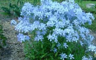 Флокс растопыренный голубой: посадка и уход