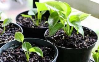 Антуриум (Мужское счастье) цветок — описание и выращивание