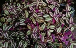 Цветок традесканция ампельная: что это за цветок