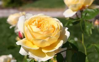 Роза Шарлотта (Charlotte) — описание сорта