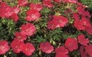 Герань кроваво-красная садовая