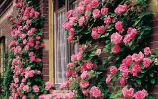 Как размножить плетистую розу черенками и отводками