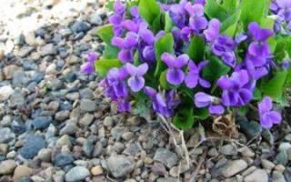Фиалка лесная — описание, разновидности и характеристики сортов