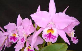 Орхидея каттлея — уход в домашних условиях