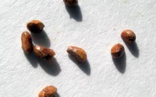 Цветок спатифиллум — размножение в домашних условиях
