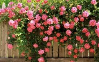 Роза Лагуна (Laguna) — что за сорт, какие бывают виды