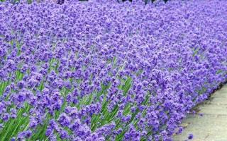 Когда цветет Лаванда