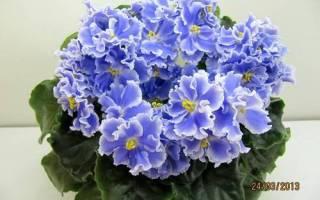 Фиалка Голубой туман — описание и характеристики сорта
