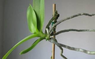 Как отсадить детку Орхидеи от цветоноса