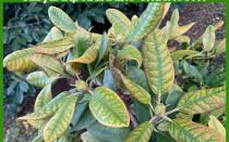 Болезни рододендронов: почему листья стали коричневыми