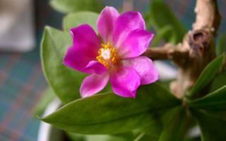 Переския цветок — уход в домашних условиях