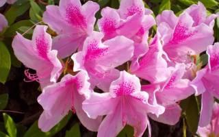 Азалия — размножение черенкованием дома