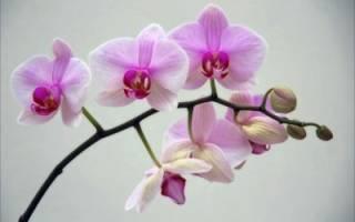 Почему не цветет орхидея — возможные причины