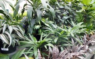 Декоративно-лиственные комнатные растения