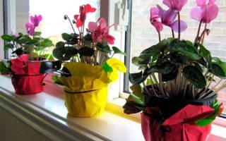 Цикламен — уход в домашних условиях