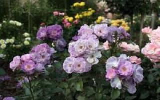 Роза Блю фо Ю (Blue for you) — характеристики, где лучше сажать