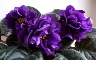 Фиалка Черная жемчужина — описание домашнего цветка