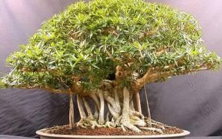 Бонсай дуб — самостоятельное выращивание и уход