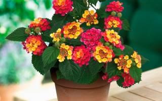 Цветок лантана — посадка и размножение