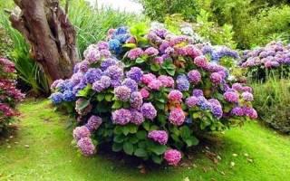 Крупнолистная гортензия, цветущая на побегах текущего года
